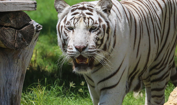 Al Ain Zoo protects white Bengal tiger