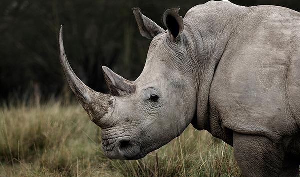 Global practices with highest international standards for the preservation of rhinos in Al Ain Zoo